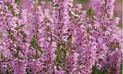 Flores de Bach Heather Egocentrismo